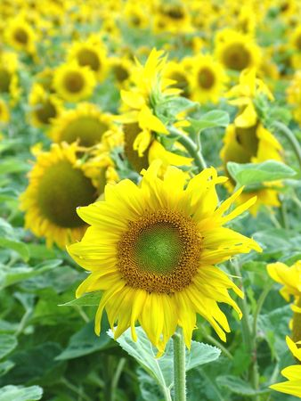 Sunflowers Stock Photo - 2825197