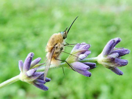 Bee-fly Bombylius major photo