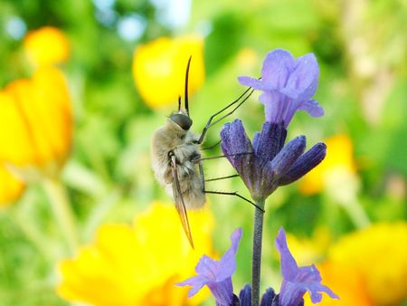 Bee-fly Bombylius major photo