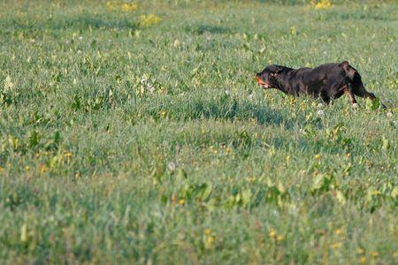 gardian: Rottweiler