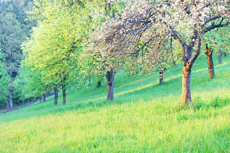 Apple tree in spring Stock Photo - 3004621