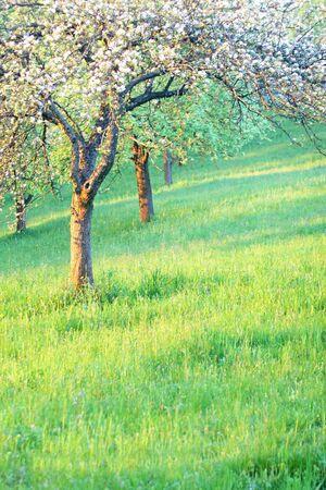 Apple tree in spring photo