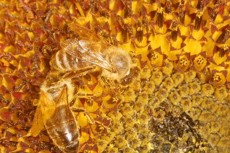 Sunflower Bee photo