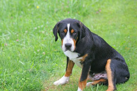 berner: Bernese Mountain Dog