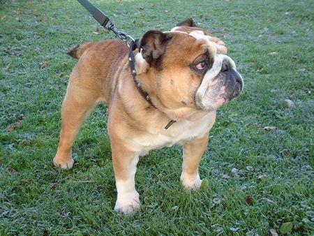 conformation: Bulldog