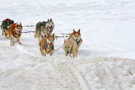huskys: Husky Sled Dogs