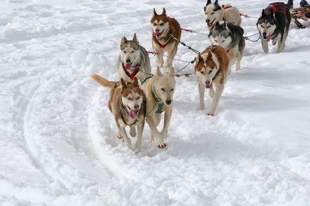 Husky Sled Dogs Stock Photo - 3352168