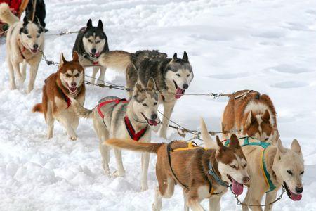 Husky Sled Dogs Stock Photo - 3352171
