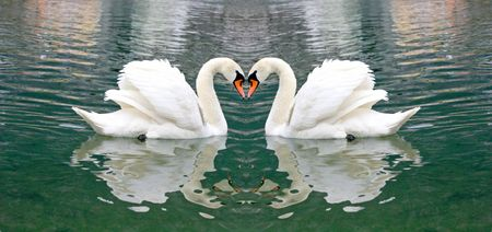 Beautiful Swan Stock Photo - 3356824