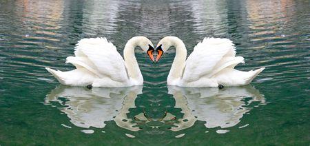 Beautiful Swan Stock Photo - 3356824
