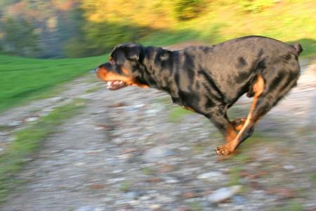 panning: Rottweiler - Panning