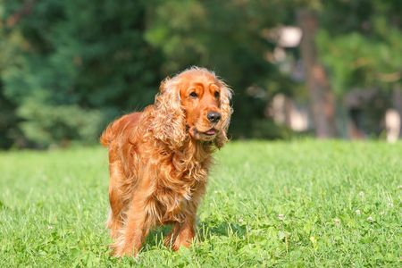 carlin: Cocker Spaniel