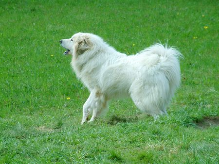 pyrenean mountain dog: Pyrenean Mountain Dog