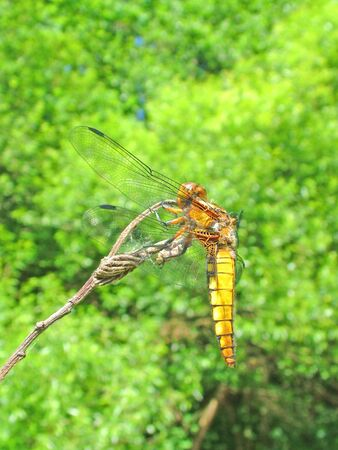 libellula: Close-up of dragonfly Libellula depressa