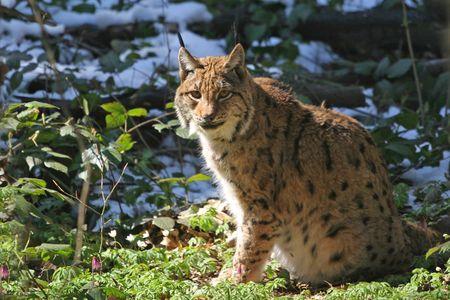 ugliness: Lynx