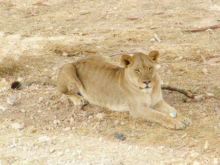 A africa lions portrait photo