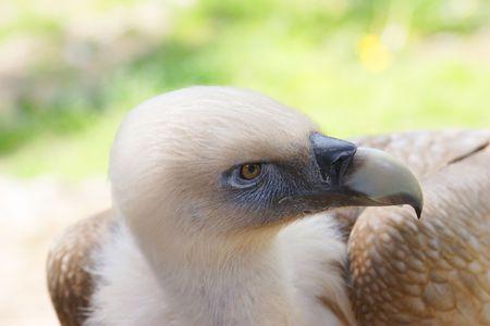 griffon: Griffon vulture portrait Stock Photo