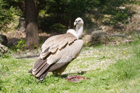 Griffon vulture Stock Photo - 4134726