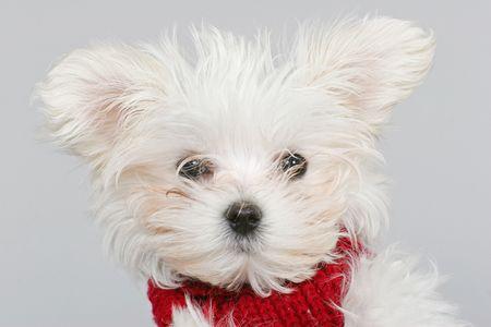 chien: Maltese Dog Stock Photo