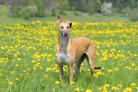 Spanish Galgo photo