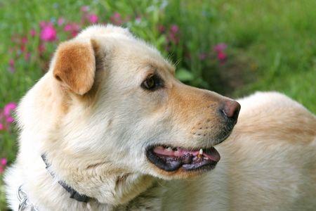 shepard: Shepard Dog