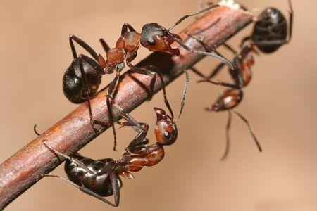 hormiga hoja: Las hormigas Foto de archivo