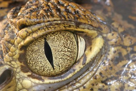eyes open: Crocodile eye