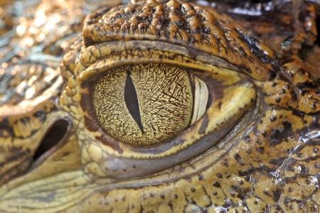small reptiles: Coccodrillo occhio Archivio Fotografico