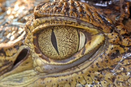 Krokodil oog Stockfoto
