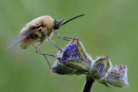entomological: Bombylius major
