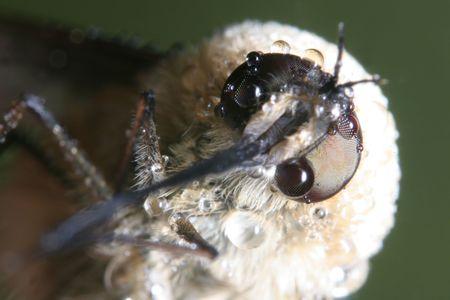 Bombylius Super macro photo