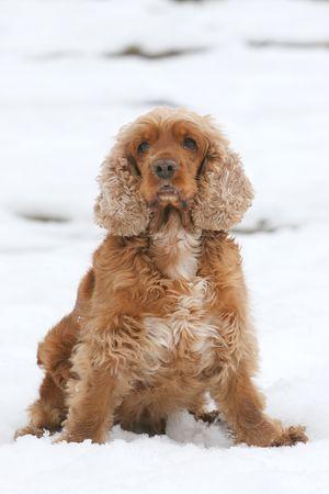having fun in the snow: Cocker Spaniel having fun in  Snow Stock Photo