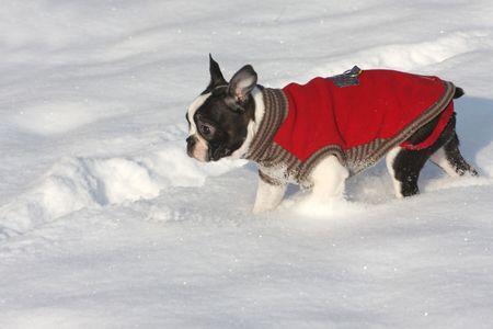 boston terrier: Boston terrier portrait