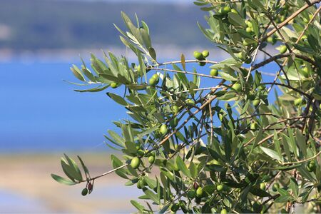 Green olives on a tree  photo