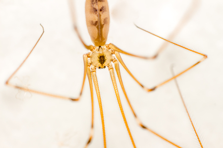 daddy long legs: Cellar Spider Pholcidae front view