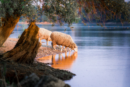 sheep drinking water at sunset Stock Photo