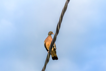 dove on a current wire looks sneaky