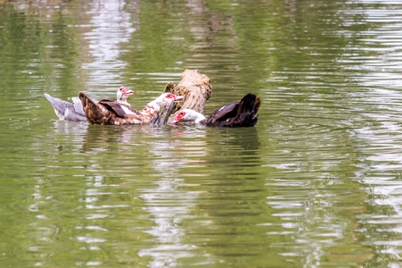 creole: wart ducks swimming in pond