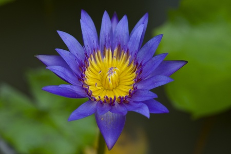 waterlilly: Blue waterlilly
