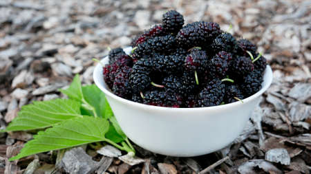 Fresh ripe mulberry berries in a white plate with green leaves on a woody surface.