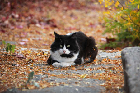 Black and white adult cat on outdoor autumn background.