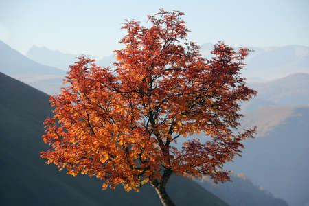 Beautiful autumn tree on a background of mountains. Red and yellow autumn leaves.