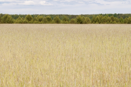 Wheat in the field with sky in background Stock Photo - 14274999