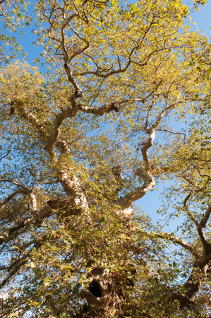 platen: Platanus orientalis in Krási, Crete, Greece  The largest plane tree in Crete, one of the largest in Greece, is located in Krasi  near Malia   This platen tree is famous tree of Zeus, under which according to mythology, Zeus mated with Europa