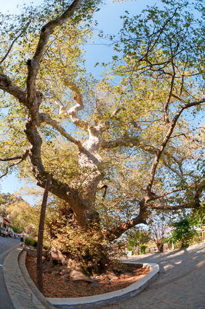 Platanus orientalis in Krási, Crete, Greece  The largest plane tree in Crete, one of the largest in Greece, is located in Krasi  near Malia   This platen tree is famous tree of Zeus, under which according to mythology, Zeus mated with Europa