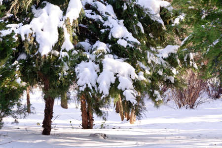 Pine Brunch - Pine tree branches with fresh fallen snow photo