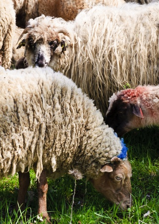 identified: Sheeps from Transylvania, painted with colours to be identified by their owners Stock Photo