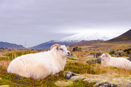 sheep warning: Icelandic sheeps