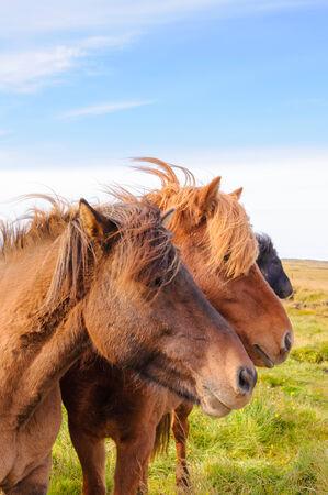 island�s: Caballos de Islandia Foto de archivo