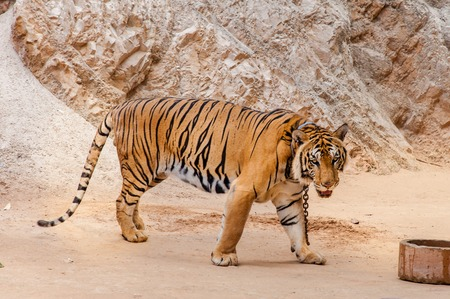 Beautiful specimen of bengal tiger at the Tiger Temple in Kanchanaburi, Thailand photo